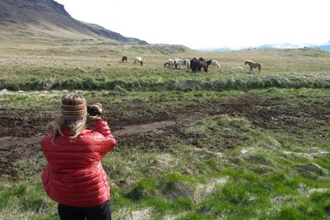 Icelandic horses at home in their rugged terrain.