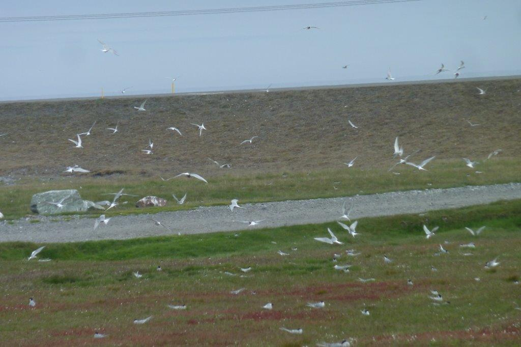 Busy terns guarding their territory